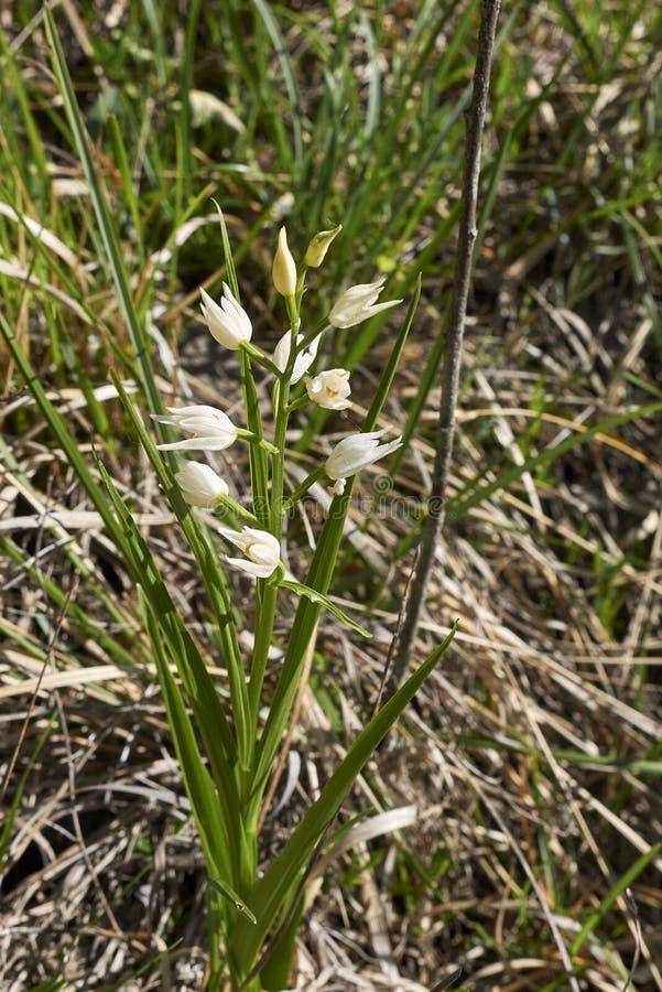 Cephalanthera longifolia in bloom royalty free stock image