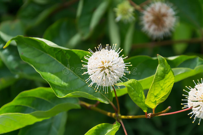 Cephalanthus occidentalis royalty free stock photo