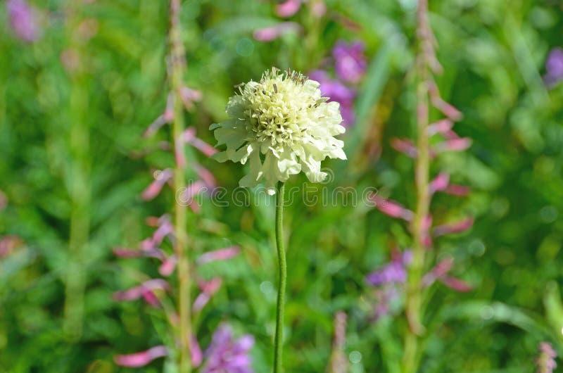 Cephalaria gigantea,家庭山萝卜科 库存照片