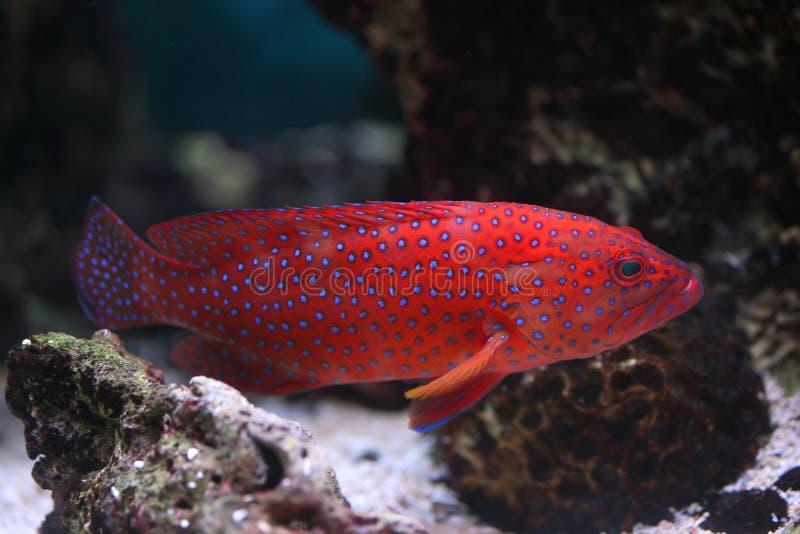 cephalopholis热带鱼的miniata 库存照片