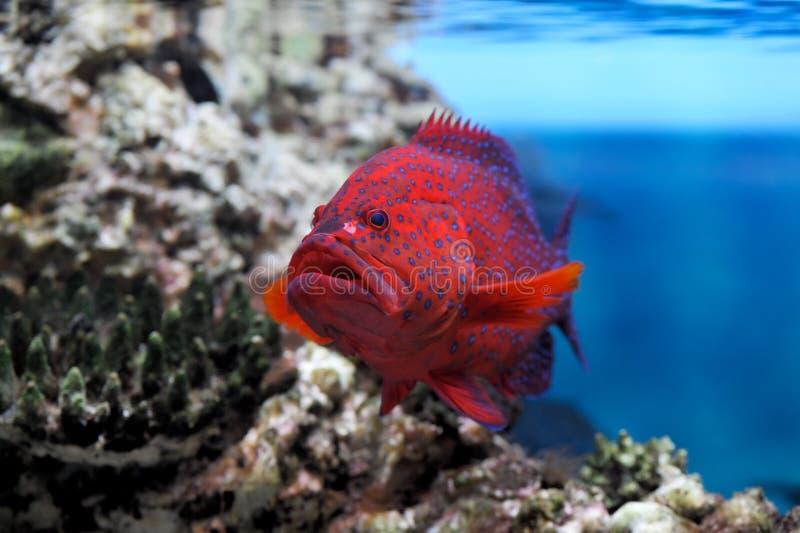 cephalopholis groper miniata czerwień zdjęcia stock