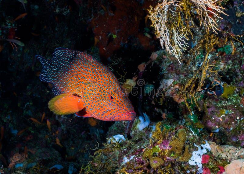 Cephalopholis miniata posteriore di corallo sulla scogliera fotografia stock libera da diritti