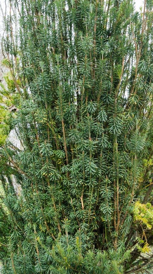 Free Cephalotaxus Harringtonii Drupacea Fastigiata Depressa, Known As Japanese Plum-yew, Harrington`s Cephalotaxus Stock Photos - 215248383