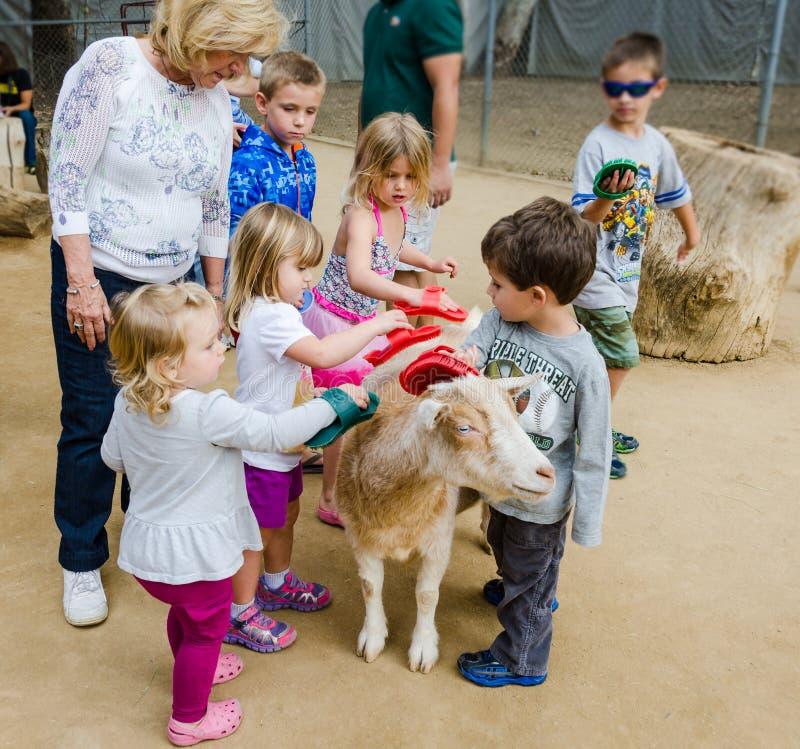 Cepillando una cabra - parque zoológico del Condado de Orange - naranja, CA fotos de archivo