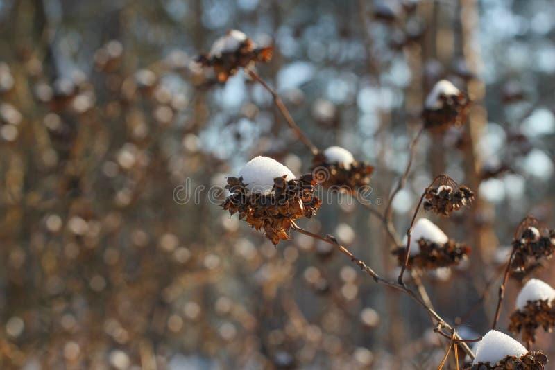 Cepille las bayas del serbal cubiertas con la primera nieve foto de archivo
