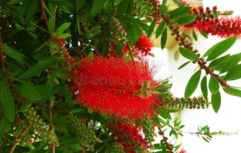 Cepillo de botella rojo de la flor Callistemon imágenes de archivo libres de regalías