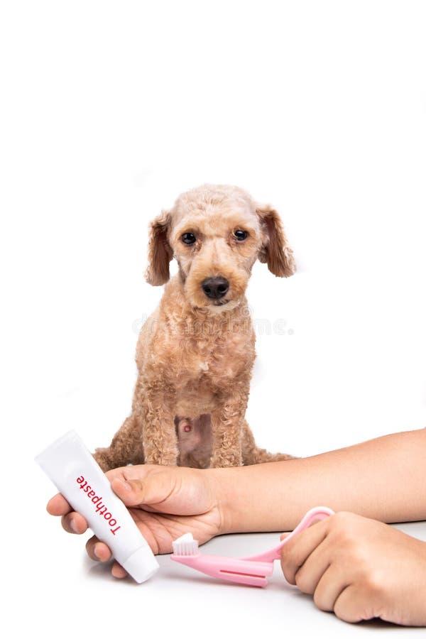 Cepillo de dientes y crema dental de la tenencia de la mano con el perro casero en fondo imagen de archivo