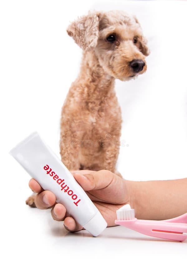 Cepillo de dientes y crema dental de la tenencia de la mano con el perro casero en fondo fotografía de archivo libre de regalías