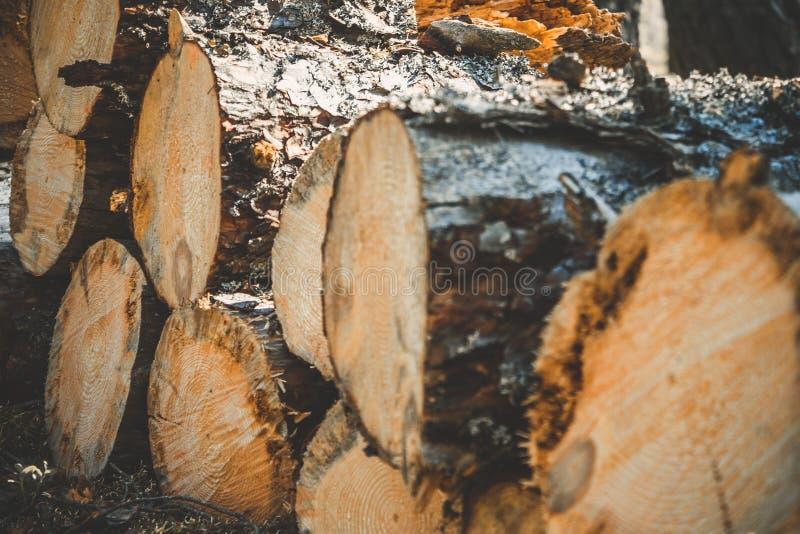 ceppi degli alberi nella foresta dopo l'abbattimento Circuiti di collegamento di albero abbattuti annotare Fuoco selettivo sulla  fotografia stock libera da diritti
