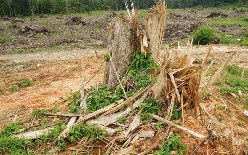 Ceppi di albero della scheggia dopo disboscamento fotografia stock