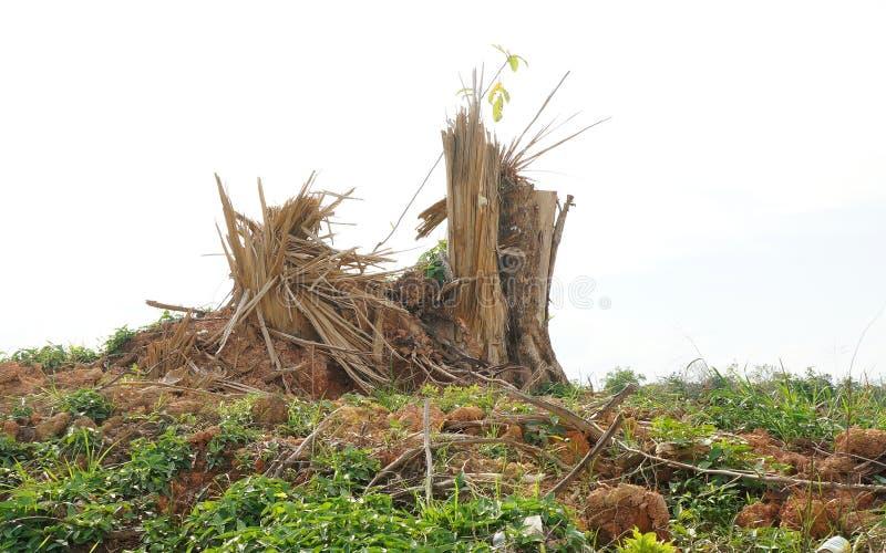 Ceppi di albero della scheggia dopo disboscamento immagine stock libera da diritti