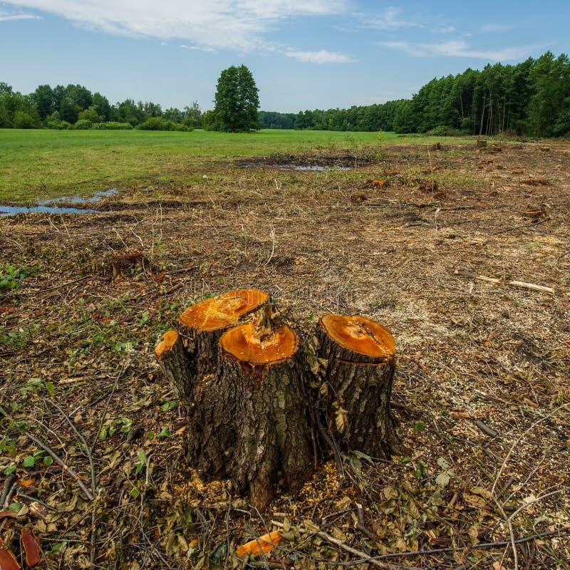 Ceppi di disboscamento importante degli alberi di ontano contro un backgroun immagine stock libera da diritti