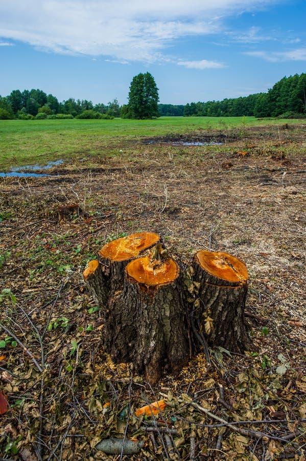 Ceppi di disboscamento importante degli alberi di ontano contro un backgroun fotografie stock