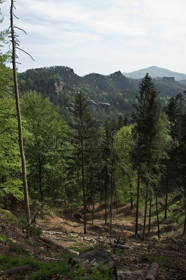 Ceppi di pino sulla collina della montagna fotografia stock libera da diritti