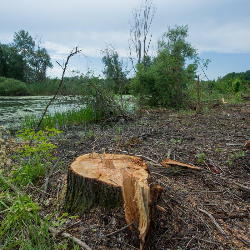 Ceppo dell'albero di salice, disboscamento sanitario fotografia stock libera da diritti