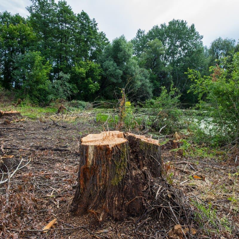 Ceppo dell'albero di salice, disboscamento sanitario immagini stock libere da diritti