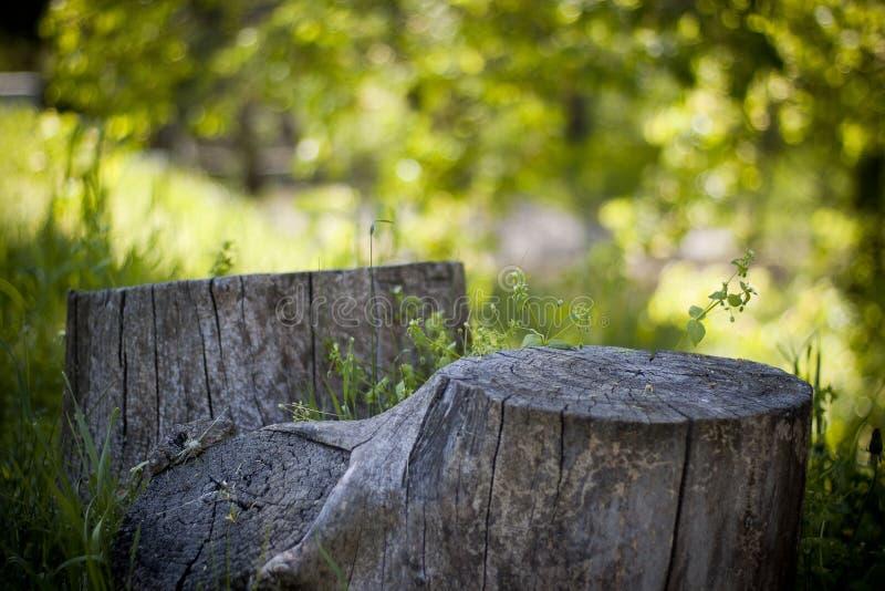 Ceppo della primavera fotografia stock libera da diritti
