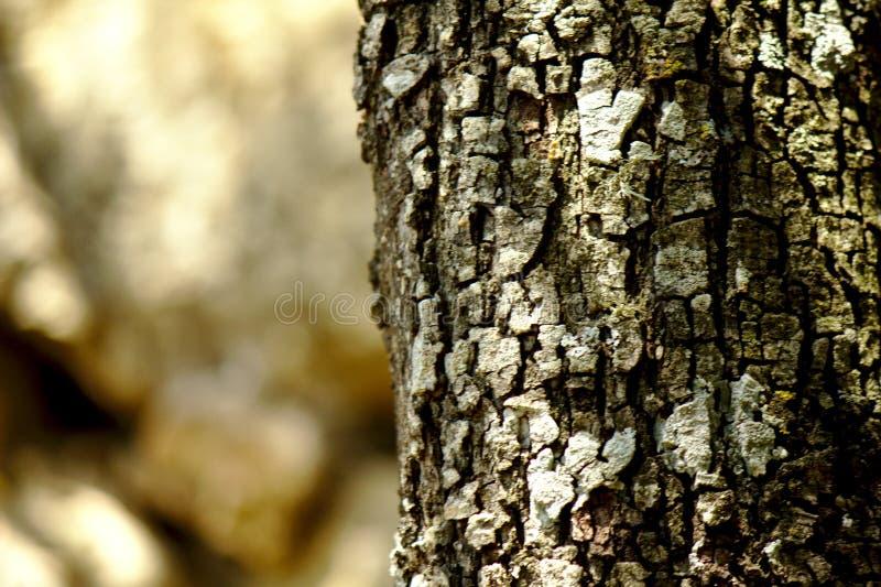Ceppo della quercia di Holm immagini stock