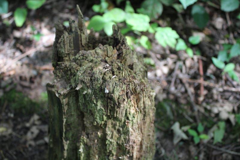Ceppo di albero che si decompone nella foresta fotografie stock