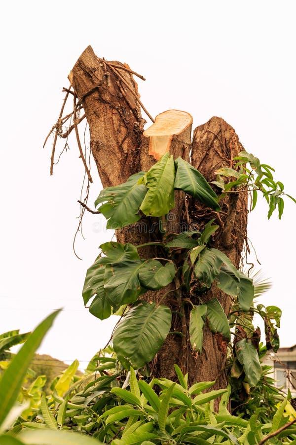 Ceppo di albero del mango immagini stock