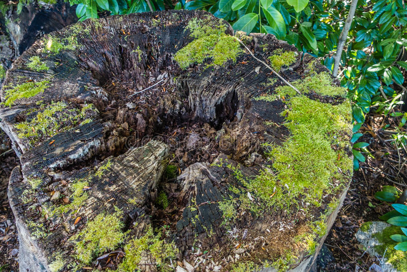 Ceppo di albero di decomposizione fotografie stock