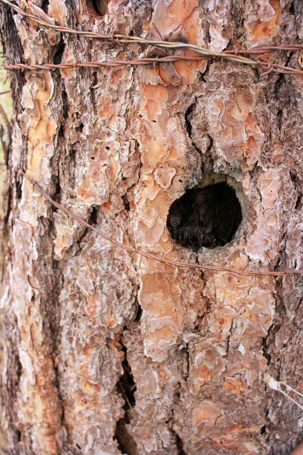 Ceppo di albero di santo fotografia stock