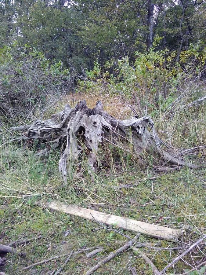 Ceppo di albero gigante fotografia stock libera da diritti