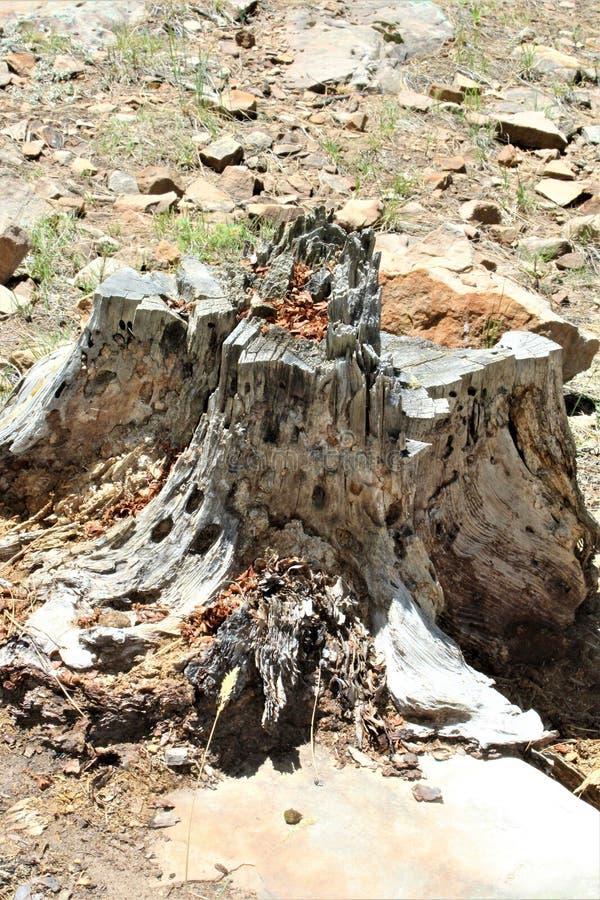 Ceppo di albero morto nel lago canyon di legni, la contea di Coconino, Arizona, Stati Uniti fotografia stock libera da diritti