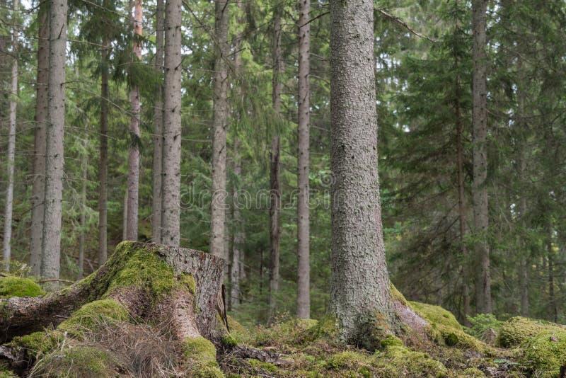 Ceppo di albero muscoso fotografia stock