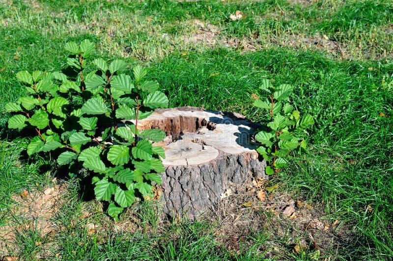 Ceppo di albero nel parco di estate fotografie stock libere da diritti