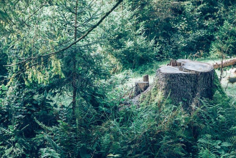 Ceppo di albero nella foresta immagine stock
