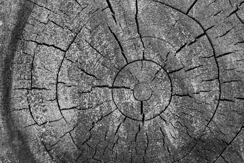 Ceppo di legno con il primo piano dei cerchi e delle crepe di anni in bianco e nero Macro incrinata del legname Superficie di leg fotografia stock libera da diritti