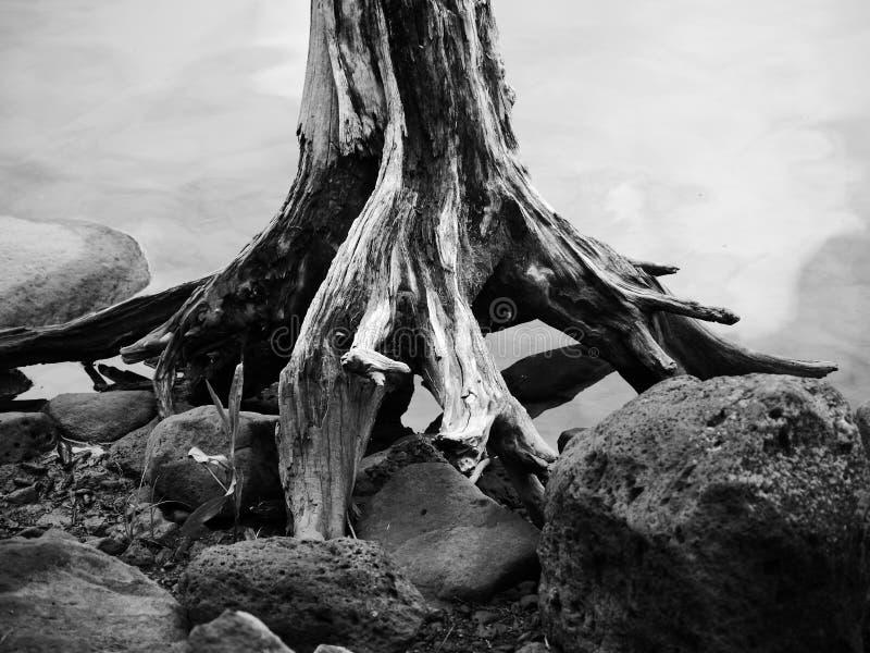 Ceppo solo dal lago fotografie stock libere da diritti