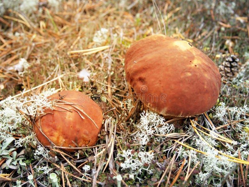 Ceps en primer del bosque del otoño Fondo del bosque del otoño entonado fotografía de archivo