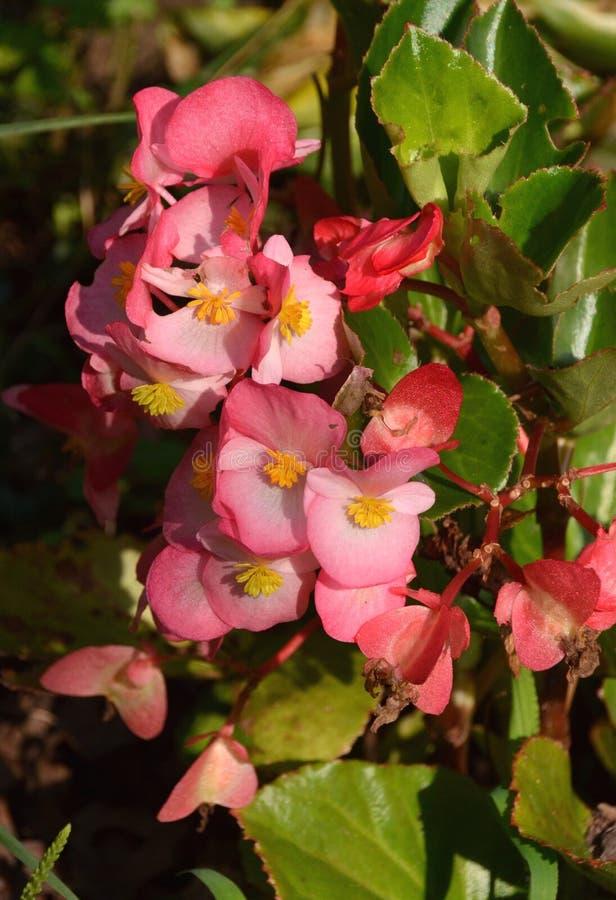Cera Begonia Flowers foto de archivo