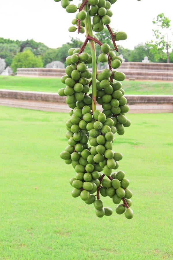 Cera de Raja Lipstick Sealing da árvore de fruto da palma, batom, Raja, planta decorativa do Maharajah no jardim no fundo branco foto de stock royalty free