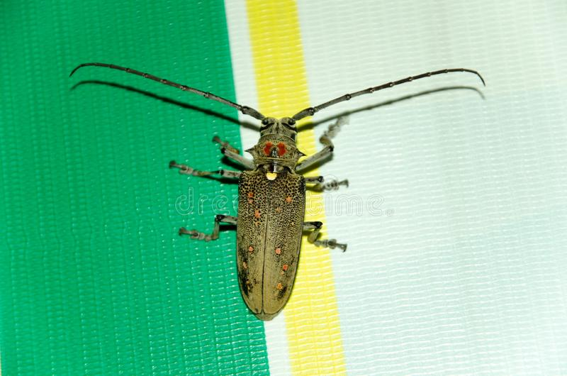 Cerambycidae Ο κάνθαρος βάρβων στοκ φωτογραφίες με δικαίωμα ελεύθερης χρήσης
