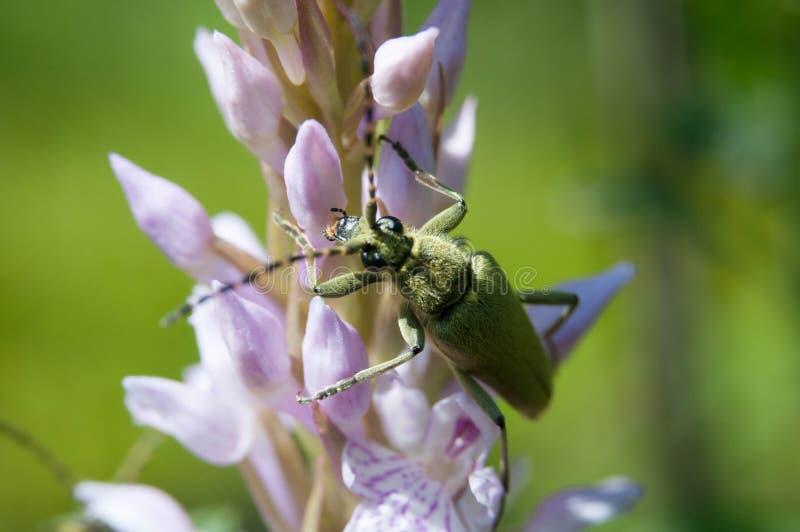Cerambycidae жуков на цветке стоковые фото