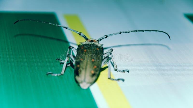 Cerambycidae Lo scarabeo del barbo immagini stock