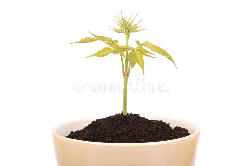 Ceramic brown flower pot and green plant stock photo