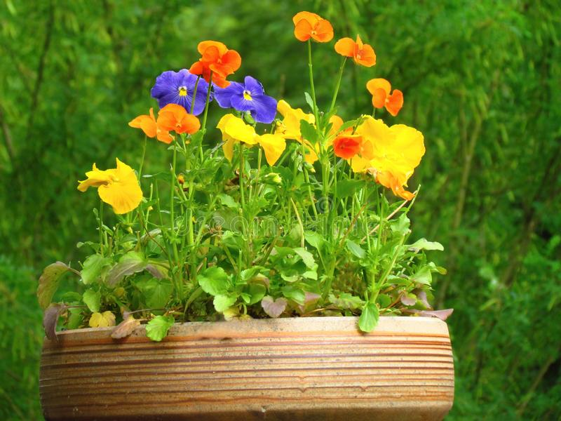 Ceramic flowerpot with brightly flowering flowers garden pansy. Garden decoration stock photo