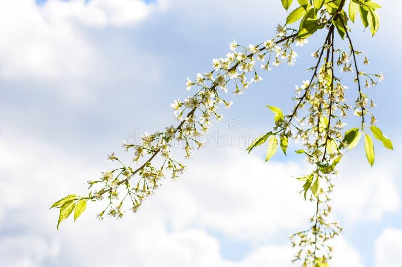 Cerasoides blancos del Prunus con el cielo azul fotos de archivo