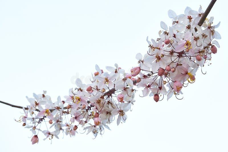 Cerasoides del Prunus fotos de archivo