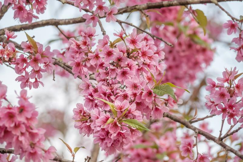 Cerasoides do Prunus da flor da flor de cerejeira fotos de stock