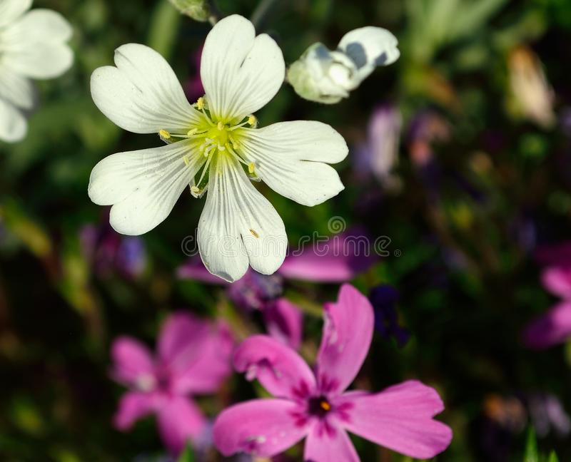 Download Closeup Field Mouse-ear Aka Field Chickweed Stock Image - Image of nature, caryophyllaceae: 107918615