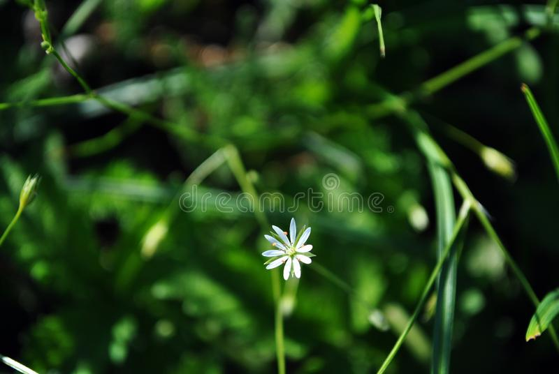 Cerastium arvense field mouse-ear or field chickweed flower blooming in forest, soft green grass blurry bokeh royalty free stock photo