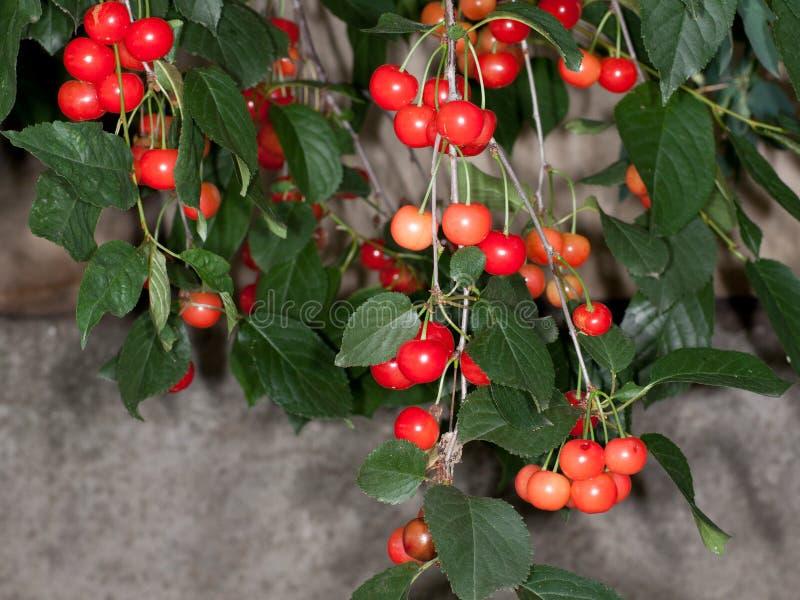 cerasus酸樱桃的李属 免版税图库摄影
