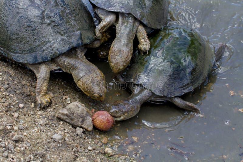 Cerated прикрепленные на петлях водяные черепахи - национальный парк Kruger стоковое фото
