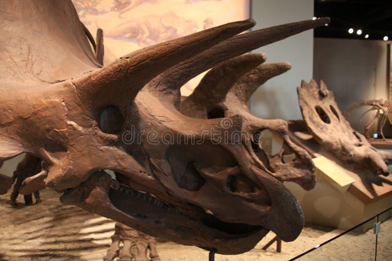 ceratopsian δεινόσαυρος marginocephalian στοκ φωτογραφίες με δικαίωμα ελεύθερης χρήσης
