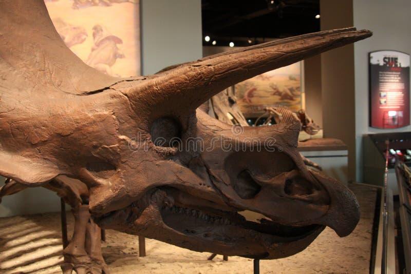 ceratopsian δεινόσαυρος marginocephalian στοκ εικόνα